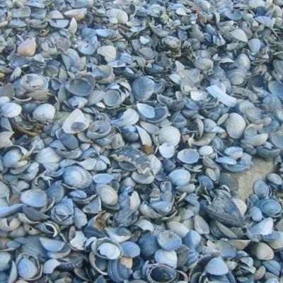 waddenzee schelpen